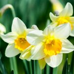 White or Yellow Daffodil