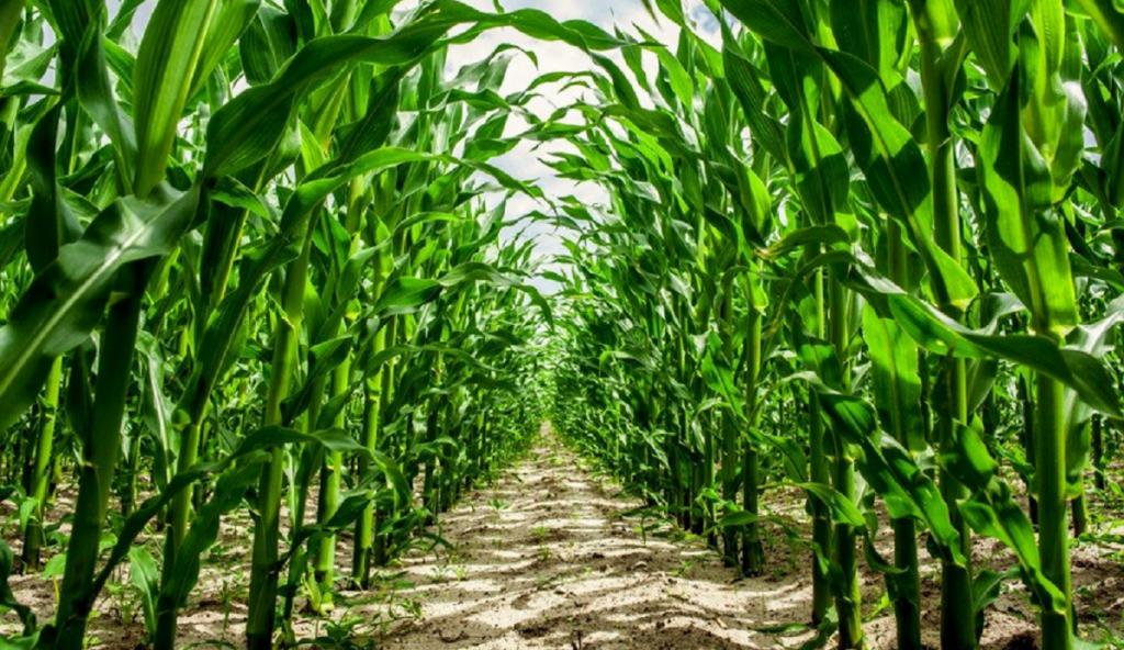 High corn crops in a farm
