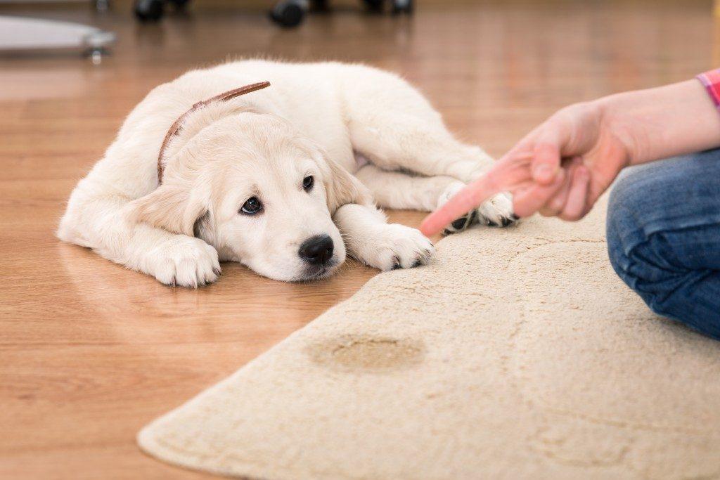 Pet urine stain on a carpet