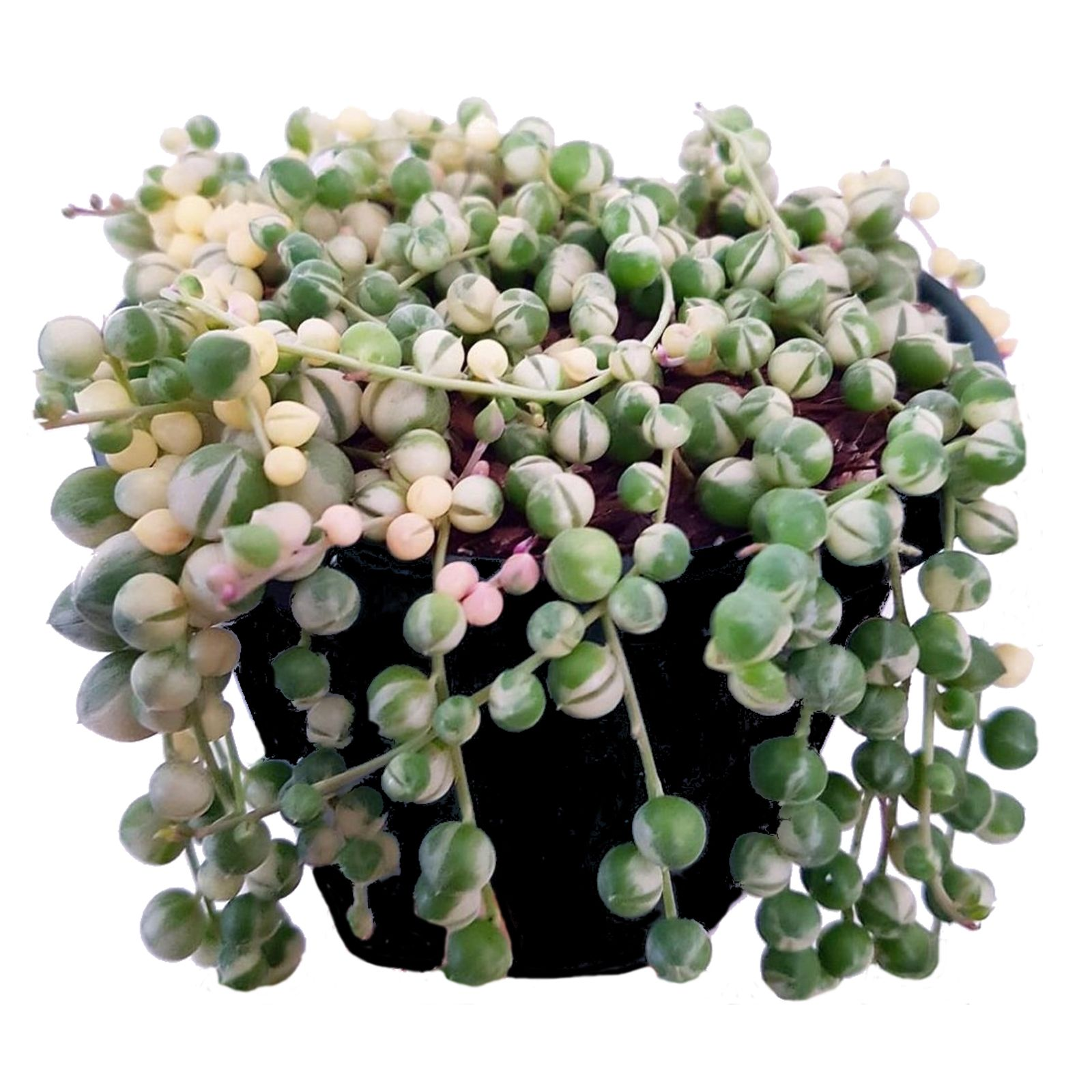 string-of-pearls-on-pot