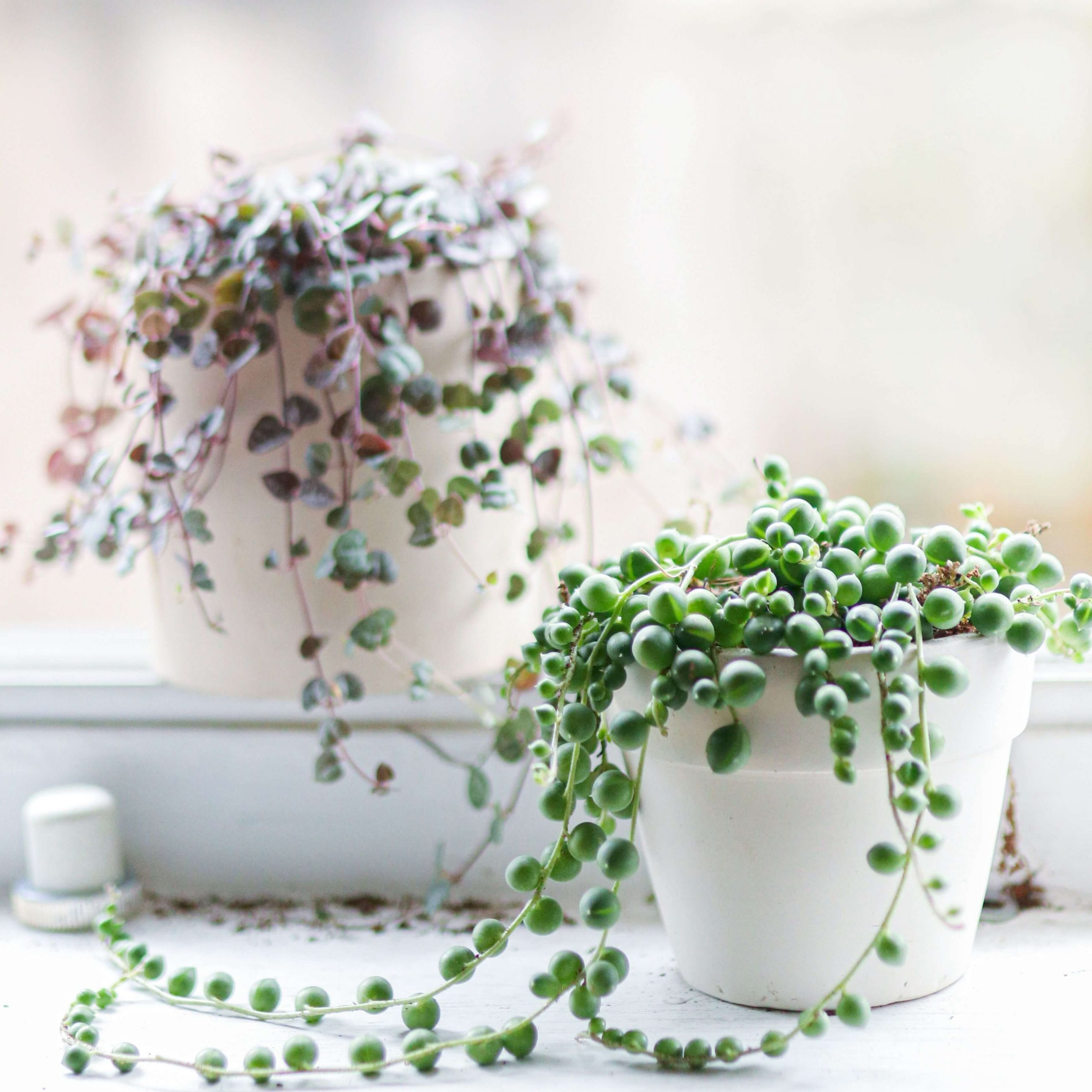 white-pot-with-string-of-pearls