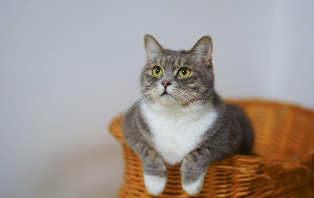cat on a basket